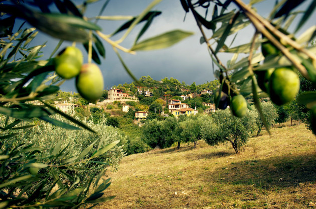 olive-trees-greece_007
