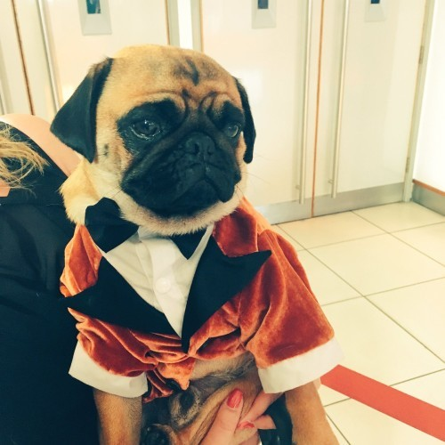 The pug from Kingsman wore a suit to the sequel's premiere ...