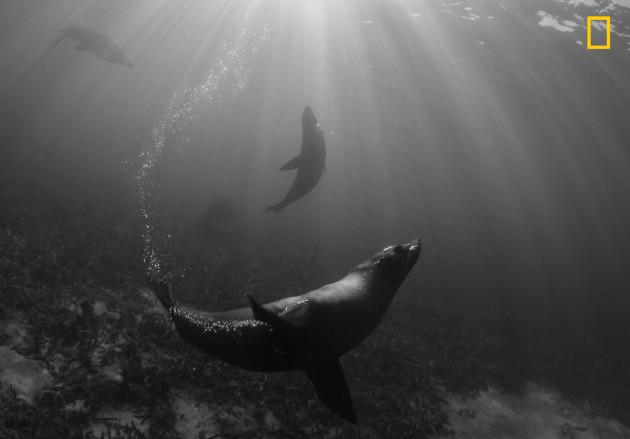 Teardrop of Seals