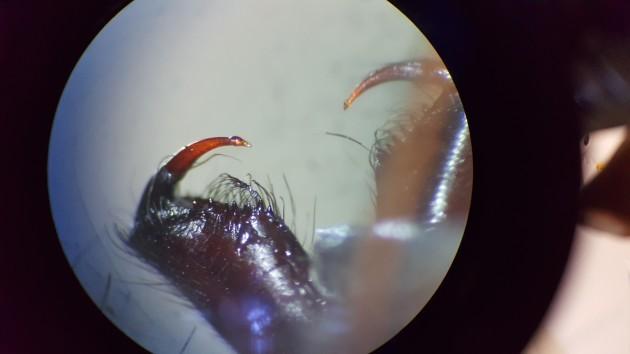 Common house spider Eratigena atrica