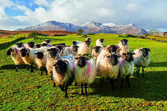 p96 In their winter coats with the Derryclare and Ben Corr mountain behind them