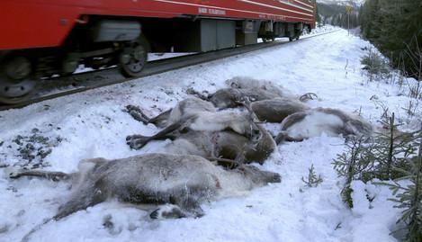 Norway Reindeer Killed