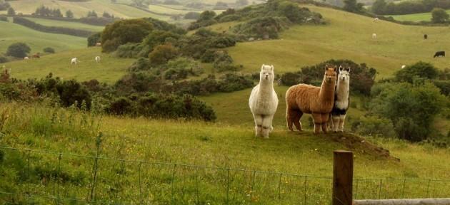 alpacs maja