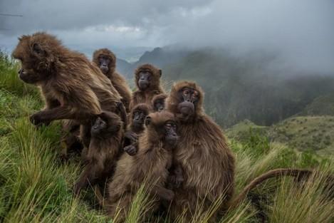 16-best-09-gelada-baboons-huddle-ethiopia-guassa-grass.adapt.945.1