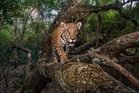 27-best-jaguar-trafficking-south-north-america-threats-8.adapt.945.1