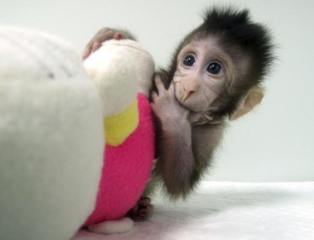 China Cloned Monkeys