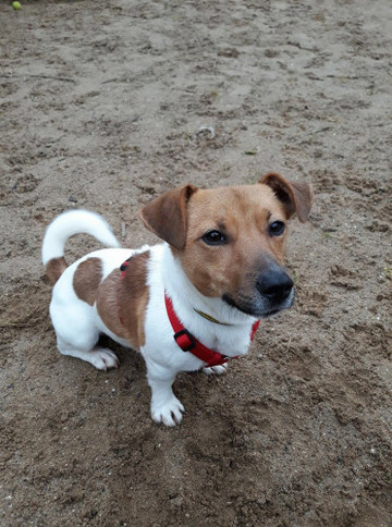 Dogs Trust - PJ, 2 year old Jack Russell terrier.
