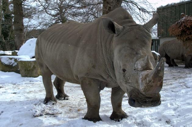 Southern White Rhino (Dublin Zoo Credit)