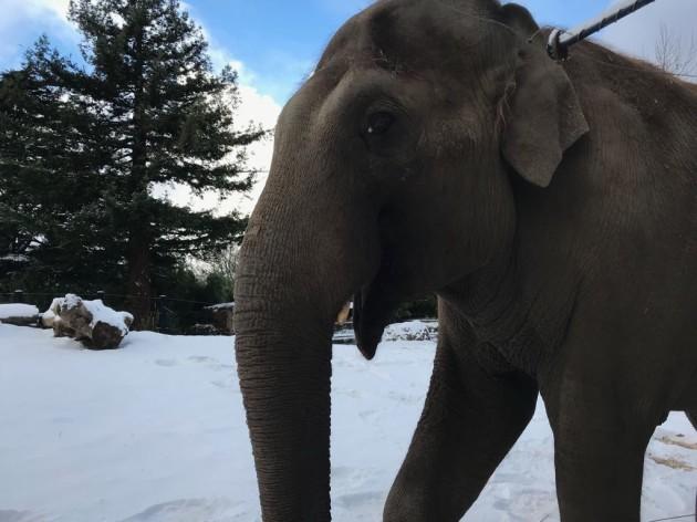 Asian Elephant 2 (Dublin Zoo Credit)