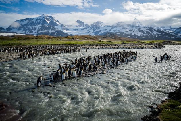 001_king-penguin-bird-south-georgia-island