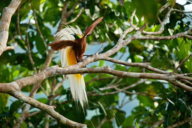 005_bird-of-paradise-new-guinea