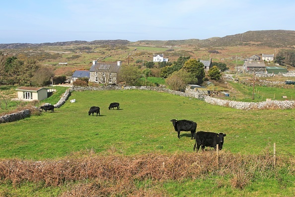 Cattle grazing in fields and farmhouses, Cape Clear Island, County Cork, Ireland