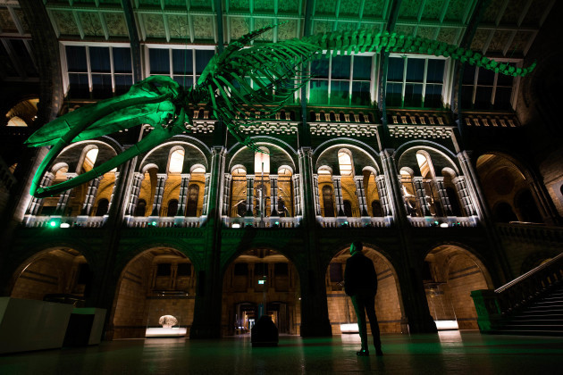 BLUE WHALE SKELETON IN THE NATURAL HISTORY MUSEUM, LONDON, JOINS