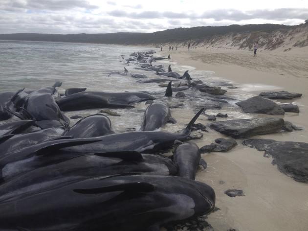 Australia Beached Whales