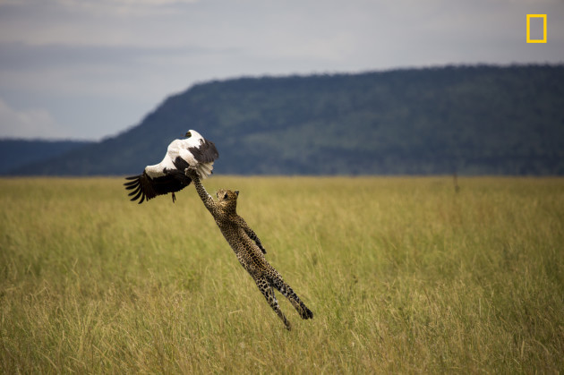 Leopard hunting a stork