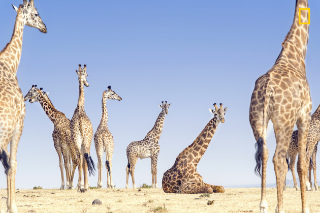 Giraffes relaxing near ngorongoro crater