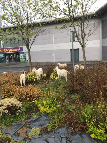 Goats 1 - Stephen Coote