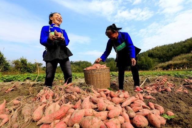 #CHINA-GUANGXI-ONLINE BUSINESS-SWEET POTATOES (CN)