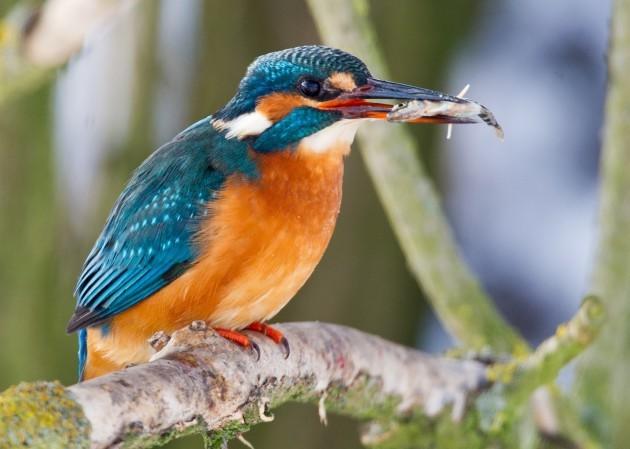 Common Kingfisher capturing stickleback