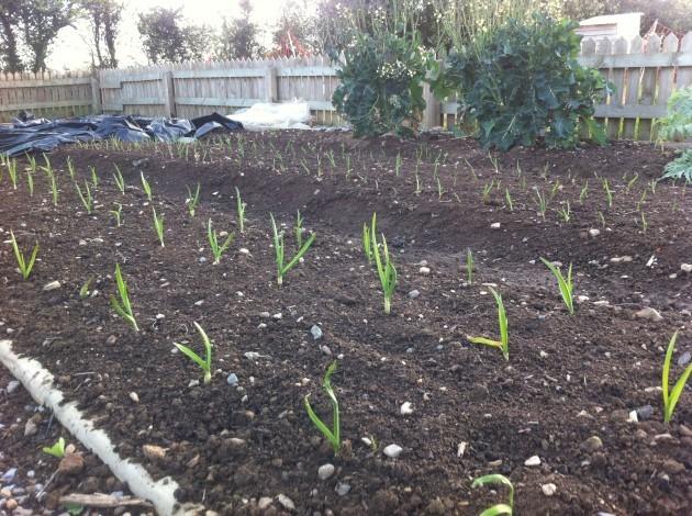 garlic seedlings