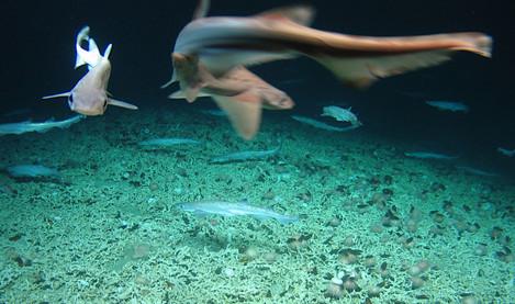Scientists discover rare 'shark nursery' west of Ireland