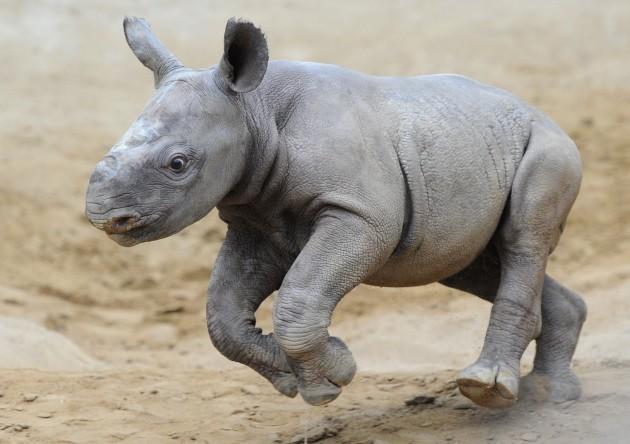 Rhino in Magdeburg Zoo