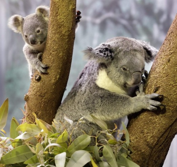 Koalas listed as 39 vulnerable 39 in parts of australia the - Koala components ...
