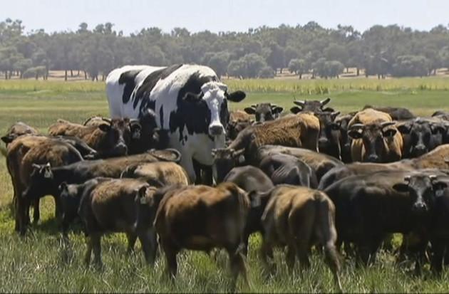 Australia Huge Steer