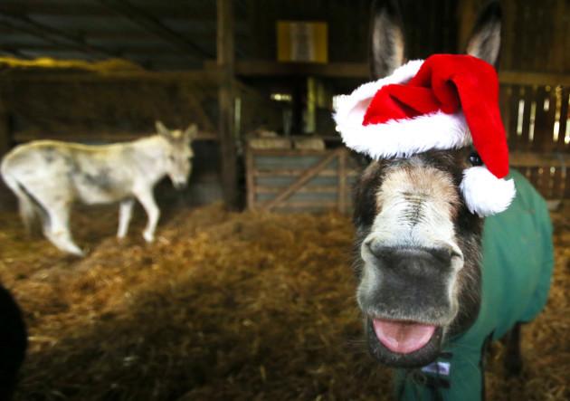 Donkeys celebrate Christmas