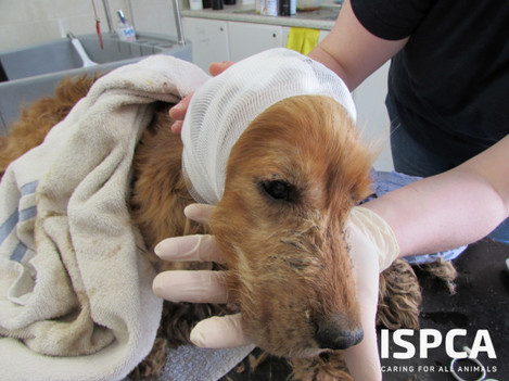 ISPCA remove 340 dogs and 11 horses from puppy farmer in Carlow