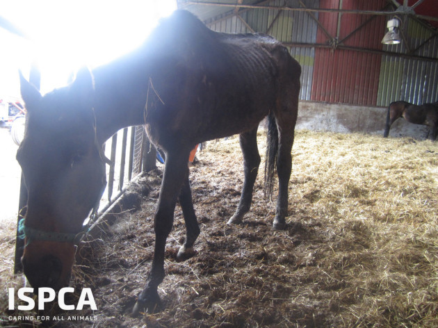Starving horses rescued by ISPCA at Myshall Puppy Farm