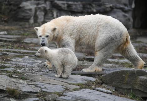 Polar bear offspring at Berlin Zoo