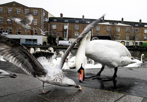 Swan 696_90560012
