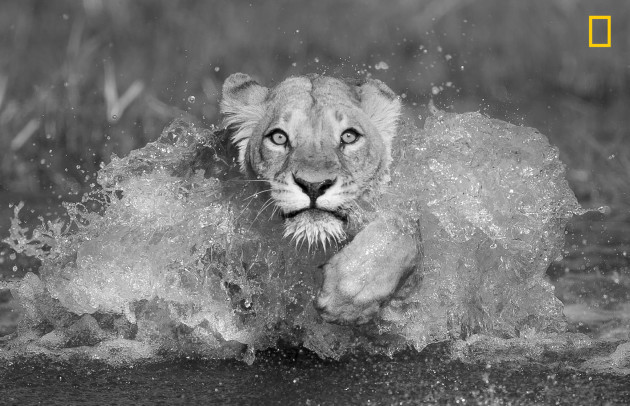 Lioness of Khwai