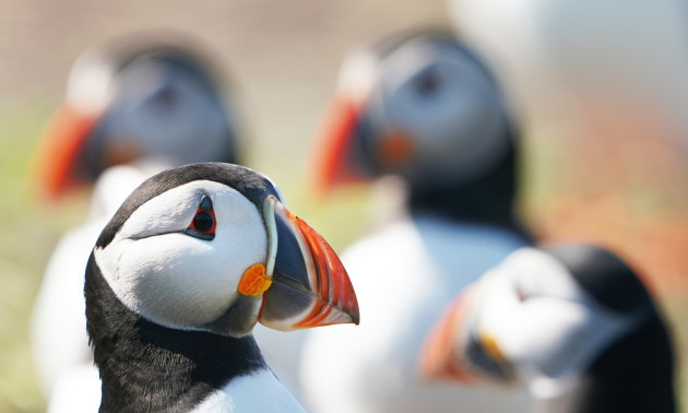 Puffin numbers on Farne Islands