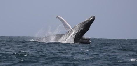 breaching humpbacks in Cape Verde April 2019_Simon Bercow_IWDG