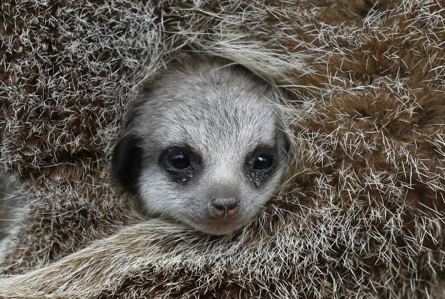 Blair Drummond Safari Park meerkat babies