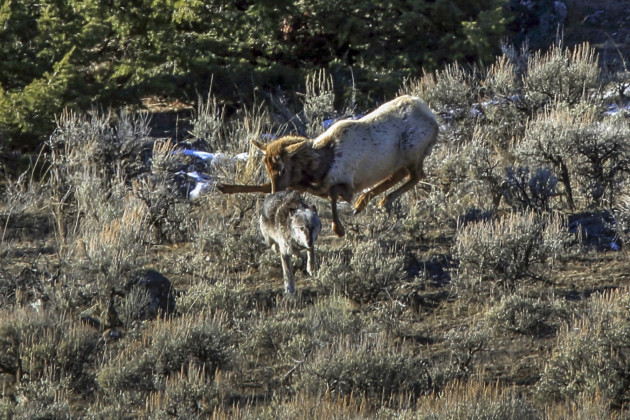 Elk Chases Wolf in Yellowstone National Park