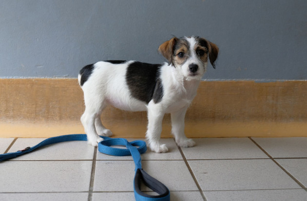 Jack russell dog and siz puppies with docked tails in ISPCA care