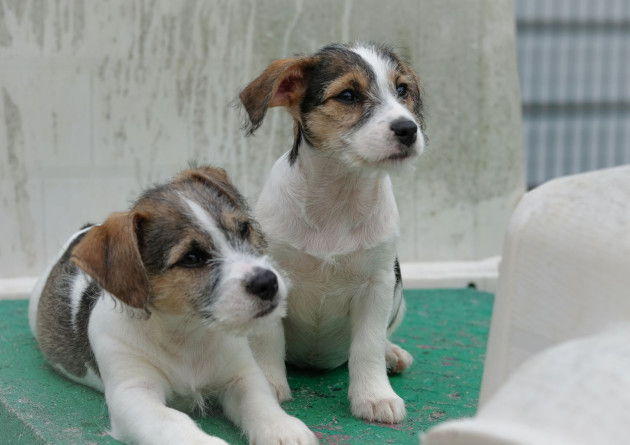 Jack russell dogs and six puppies with docked tails in ISPCA car