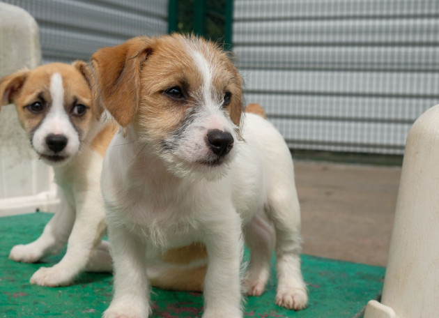Jack russell dog and six puppies with docked tails in ISPCA care