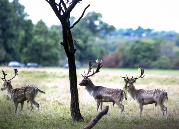 deer 611_90581817