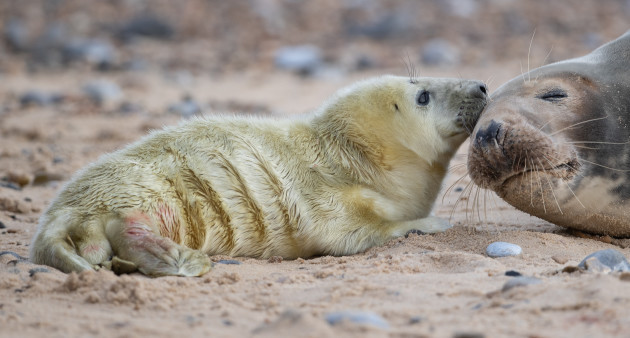 grey-seal-pups