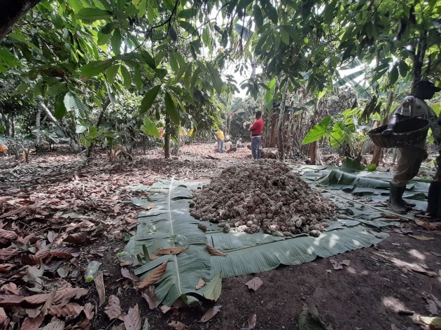 7. beans fermenting on banana leaves agroforestry in action as the banana tress are on the edge of the cocoa trees