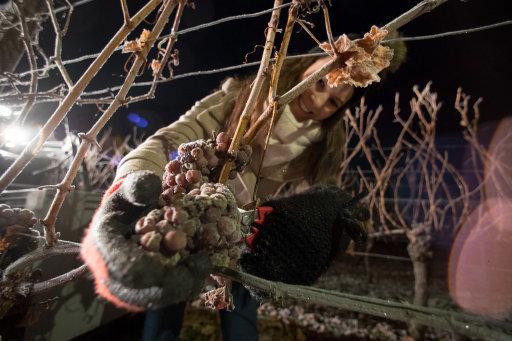ice-wine-harvest-in-germany