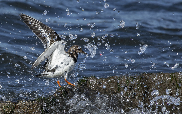 turnstone sea bird 699