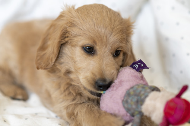 puppy-goldendoodle