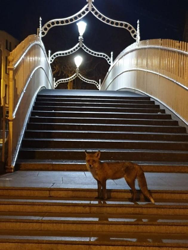 garda fox