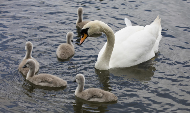 4 BABY SWANS 758A8131