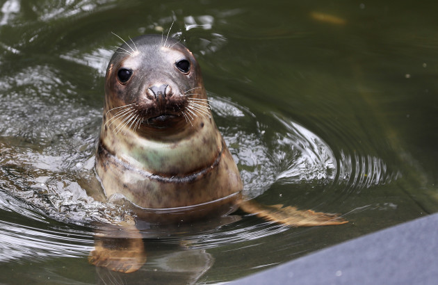 seal-rescue-ireland-use-wetsuit-mammas-to-comfort-orphaned-pups